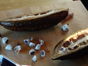 geöffnete Kakaobohne - Confiserie Coppeneur
