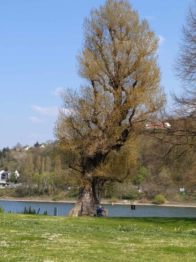 Hüttchensbaum, Koblenz-Neuendorf