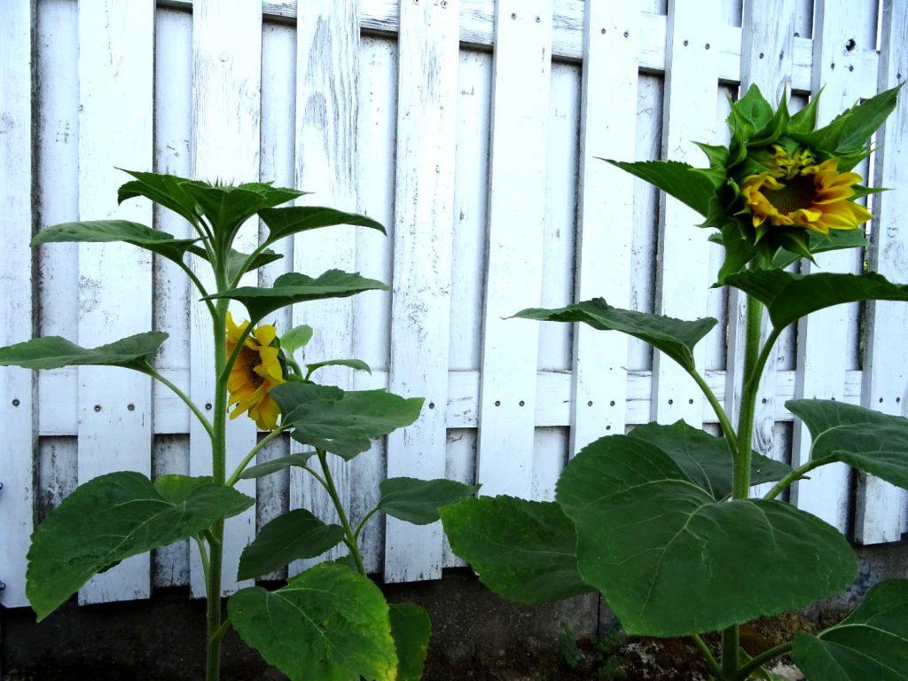 Sonnenblumen Bild vom 18. Juli 2020