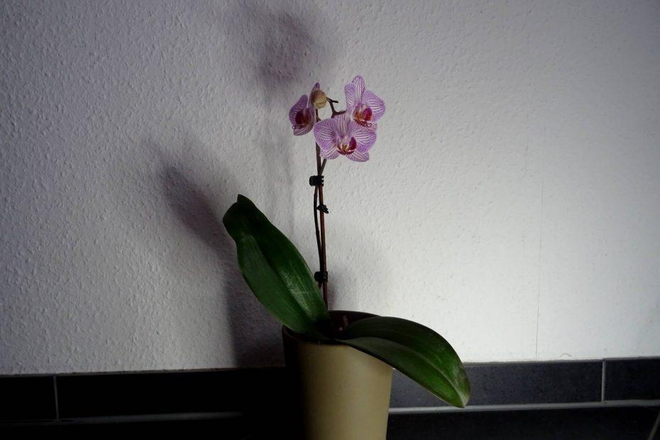 Meine Orchidee, die immer wieder neu erblüht