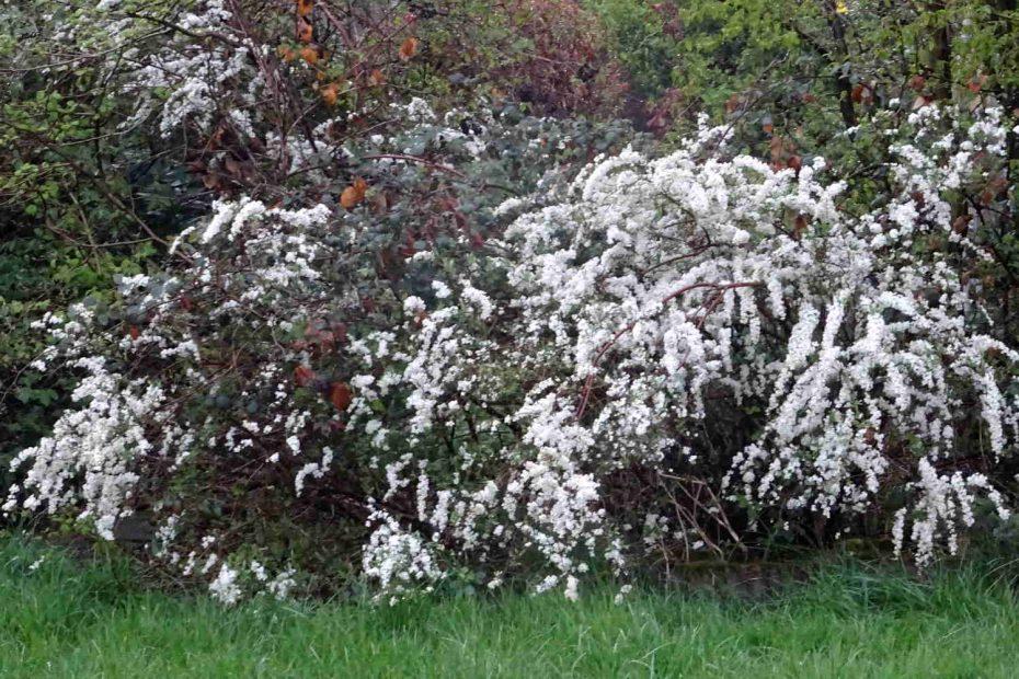 Es beginnt zu blühen, alles ist noch ein wenig unscharf ... zu sehen: ein Strauch in weißer Blüte, dahinter grüne und rote Blätter, vorne eine grüne Wiese
