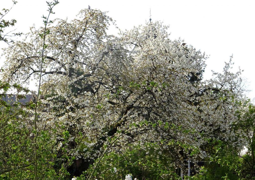 weiß blühender Baum