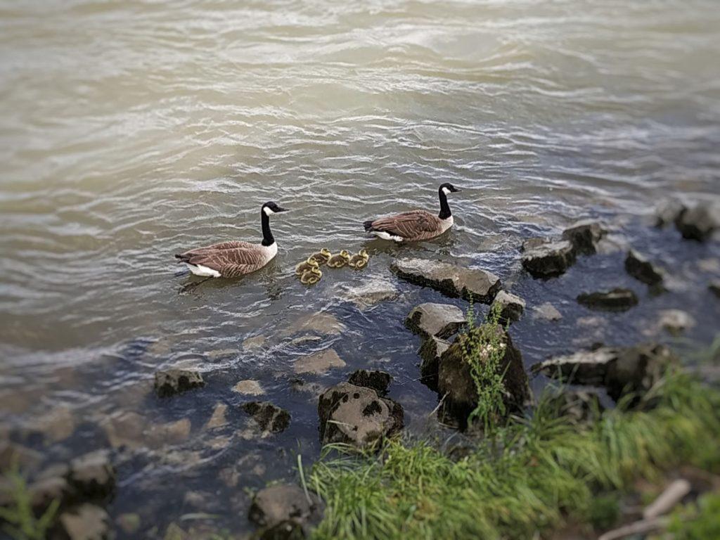 Gänsefamilie am Rhein