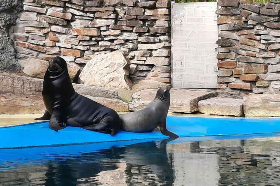 2 Seelöwen an Land, Rücken an Rücken in aufrechter Haltung