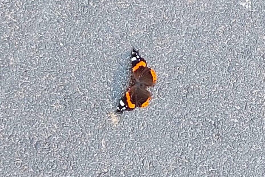 Schmetterling auf Asphalt