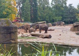 Drei Elefanten im Kölner Zoo, am Wasser, ein kleiner Elefant steht zwischen zwei Elefantenweibchen, die sich dem Jungtier zuwenden. Im Hintergrund ist ein weiterer Elefant von hinten zu sehen.