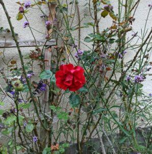 rote Rose in der Natur